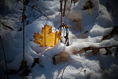 leaves and snow by the river, 2:3, 11-10-18 (wbhmatthies) Tags: leaves illuminations backlighting river snow fall withered