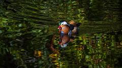 Color on color (mond.raymond1904) Tags: mandarin duck dodder river dublin