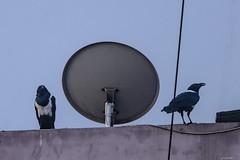 CORVO BIANCONERO    ----    PIED CROW (Ezio Donati is ) Tags: uccelli birds cielo sky animali animals natura nature africa costadavorio abidjan