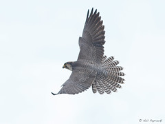 Lanner Falcon (npaprock) Tags: falcobiarmicus falco falcon lannerfalcon oromia ethiopia africa bird raptor