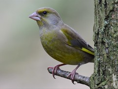 Greenfinch (doranstacey) Tags: nature wildlife birds greenfinch rspb oldmoor reserve tamron 150600mm nikon d5300 naturebest naturephotography ukbirds ukwildlife uknature woodland photography yorkshire dearne valley british green finch