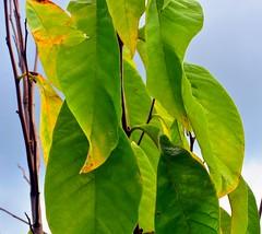 Vertical Leaves (pmorris73) Tags: arboretum pennstateuniversity statecollege pennsylvania century 2ca0519 3ca0619 4ca0719 5ca1219 6cb0719 7cb0719 8cc2319