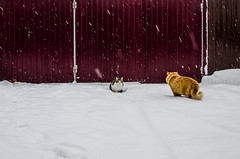 Meet the cats on the street (ivan_volchek) Tags: animal animals appearance beautiful cat cats cold color colorful cute domestic domesticanimal domesticcat feline fluffy frost fur furry kitten kittens landscape mammal mammals mustache nature pets season snow snowy two white winter