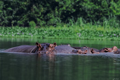IPPOPOTAMI    ----    HIPPOPOTAMUSES    ----    MEETING (Ezio Donati is ) Tags: animali animals acqua water fiume river foresta forest alberi trees verde green taboitien westafrica cosradavorio grandi big