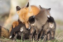 Baby fox snuggles (Adam Hill Photo) Tags: bestof2018 fox family mother kit
