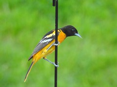 Baltimore oriole (Susan Lamberts) Tags: bird oriole baltimoreoriole