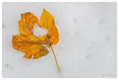 Neige et feu (Pascale_seg) Tags: nature natura earth terre hiver winter inverno neige snow neve blanc white bianco feuille leave foglia macro automne autunno autumn moselle lorraine grandest france nikon