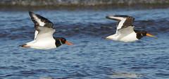 K32P0050b  Oystercatchers, Titchwell Beach, November 2018 (bobchappell55) Tags: titchwell norfolk wild bird wildlife nature oystercatcher wader haematopusostralegus