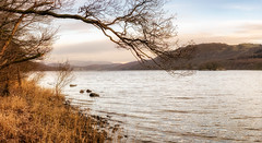 Coniston Water under Milky Skies (Rob Sutherland) Tags: coniston water milky light sky soft lakes lakeland lakedistrict lake tree shore bank crake torver brownhow grizedale nationalpark ldnp cumbria cumbrian uk england english britain british
