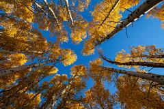 Aspens in the Fall (Chris Skopec) Tags: aspens autumn california fall junelake junelakeloop monocounty places sierranevada sierranevadamountains trees usa golden