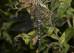 Migrant Hawker (wayne.withers1970) Tags: small pretty wings fly flight flying color colorful nature natural colour colourful wild wildlife wales macromonday flickr dof bokeh naturephotography country countryside outside outdoors alive fauna flora canon sigma light blur black white blue brown green fine net mesh dragonfly tree trees dark macro macromondays invertebrate bug animal insect wwt llanelli plant vegetation hawker autumn shimmer glisten