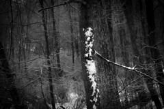 winter's wrap (bidutashjian) Tags: outdoors trees winter woods bw forest snow white january cold outside nature nikon d3500