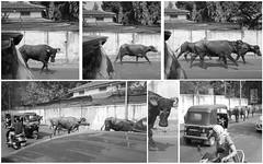 Bullocks (Shell Daruwala) Tags: india ricoh ricohgrdigital ricohpentaxgr ricohgrii grii monochrome bw blackandwhite bullock bullocks bullrun pune rickshaw auto street rampage wildlife nature beasts life montage story series