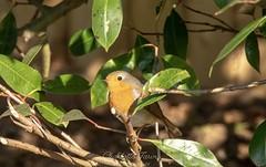 Robin peekaboo (charlottejarvis@live.co.uk) Tags: wildlife buckinghamshire gardenbird uk robin bird