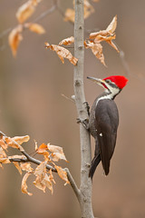 Piliated Woodpecker (www.studebakerstudio.com) Tags: piliated woodpecker piliatedwoodpecker bird ohio birch beech fall nature wildlif