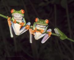 red-eyed frogs (marianna armata) Tags: redeye frog amphibian animal fauna costarica mariannaarmata