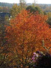tree orange (cloversun19) Tags: rain animal field grass landscape branches leafs foliage sky russia russian spb tree walking country holiday holidays park garden dream dreams positive forest happy view grey legend fairytale fir firtree birch village evening romantic october september car road street blue maple leaves town city light sun yellow autumn trees