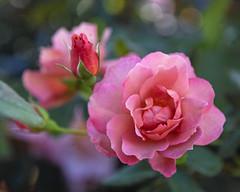 2018 Autumn rose (shinichiro*) Tags: 20181102sdim6819 2018 crazyshin sigmasdquattroh sdqh sigma1770mmf284dcmacrohsm november autumn yokohama 横浜イングリッシュガーデン rose flower macro 32195783658 4342249 201901gettyuploadesp