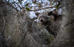 Raccoon in Tree. Georgia (stephenwalshphoto) Tags: