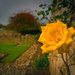 The yellow Rose of Melrose Abbey