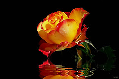 Rosa derretida... (Zéza Lemos) Tags: reflexos rosas rose rosa reflections roseiras roseira jardim jardins algarve água portugal plantas planta jardineiro vilamoura