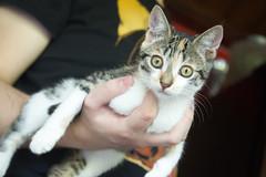 Shae ♥ (AdrienChd) Tags: shae chaton chat mignon cute cat gris