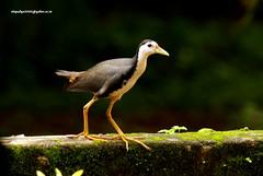 IMG_6343 White-breasted Waterhen (Amaurornis phoenicurus) (vlupadya) Tags: greatnature animal aves fauna indianbirds whitebreasted waterhen amaurornis kundapura karnataka