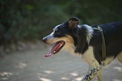 Joni (mcvmjr1971) Tags: green nikon d800e vila progresso niterói mmoraes cachorro border collie dog tricolor femea female sigma 85mm art f14