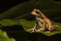 Dendropsophus kamagarini (antonsrkn) Tags: dendropsophuskamagarini hylidae hylid frog nature herp herpetology animal wildlife amphibian peru manu southamerica biodiversity