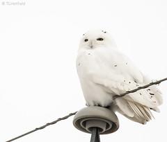 Snowy Owl (tlhatfield) Tags: snowy owl wildlife bird white