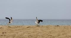 Salt (Keith Midson) Tags: birds bird seagull pacificgull gull sand beach scamander tasmania coast shore sea seascape seagulls