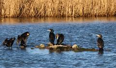 Cormorants - Phalacrocorax carbo- Radipole Lake  RSPB Dorset -170119 (Ann Collier Wildlife & General Photographer) Tags: cormorants phalacrocoraxcarbo radipolelakerspb dorset royalsocietyfortheprotectionofbirds rspbreserves rspb dorsetwildlife wildlifereserves wildbirds uk