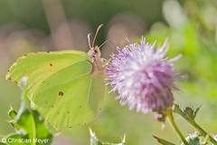 2012.08.08 - 4189 - Citron Kermesquel © (chmeyer51) Tags: insecte papillon citron lépidoptère pieridae coliadinae gonepteryxrhamni