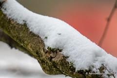 Snow on Branch (Ashley Middleton Photography) Tags: broadblunsdon branch england europe plant plants snow unitedkingdom weather wiltshire