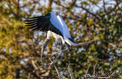 Perching Wood stork (Mike_FL) Tags: nikon nikond7500 nature tamron100400 outdor floridawildlife photograph image bird perchingwoodstork