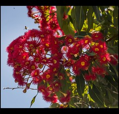 Red Gum Flowers up high-1= (Sheba_Also 44,000+ photos) Tags: red gum flowers up high