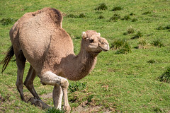 Dromedary (Arabian Camel (Camelus dromedarius)) at Oakland Zoo, Oakland, California (takasphoto.com) Tags: apsc animal animalia arabiancamel artiodactyla cdromedarius camelid camelidae camelus camelusdromedarius camélidés chordata devegiller dromedary fuji fujixe3 fujixe3fujifilm fujifilm fujifilmxe3 fujinon fujinonlens fujinonxserieslens fujinonxc fujinonxc50230mmf4567oislens họlạcđà kamele lens mammalia mirrorless nature outdoor saharadesert schwielensohler telephoto telephotolens tylopoda wielbłądowate wild wildlife xe3 xtranscmosiii xtransiii camelloarábigo dromedario верблюдовые גמליים جمليات شتران उष्ट्रगण ヒトコブラクダ フジノン フジフィルム ラクダ ラクダ科 偶蹄類 動物 單峰駱駝 自然 骆驼科 鯨偶蹄目 낙타과