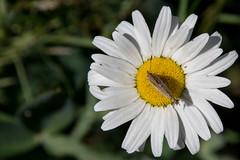 20180615-LRC46124 (ellarsee) Tags: hedgerowhairstreak mccloudca critter fauna flickr flora flower insect moth wildlife