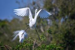 Here I go! Great egret with breeding plumage taking flight from nest at Venice Rookery, Venice, Florida (diana_robinson) Tags: greategret ardeaalba whiteegret breedingplumage birdtakingflight nest venicerookery venice florida