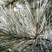 Frosted Pine needles - Frimas sur aiguilles de pin