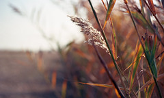 akkoris (Kovács Anna) Tags: yashica fx3 analogue analóg ősz autumn nád cane breeze soft wind yashicafx3 50mm listening calmness calm chill balance meditation
