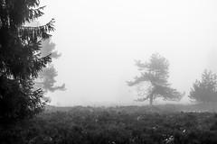 Trees in the Fog:  A quarrel between trees (Pascal Riemann) Tags: hochheide deutschland baum pflanze sauerland nebel sw natur niedersfeld germany nature schwarzweis bw blackandwhite einfarbig monochrome plant