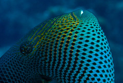 durgon (fins'n'feathers) Tags: fish animal wildlife marinelife durgon blackdurgon intricatepatterns underwater scubadiving turksandcaicos underwaterphotography triggerfish