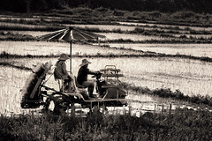 Rice Transport-Asian (Carl's Captures) Tags: workers laborers farmers women females riceproduction planting machine equipment apparatus vehicle ricemobile paddywagon profile candid story agriculture pasangdistrict lamphunprovince northernthailand southeastasia thai siam asian monochrome sepia landscape rural crops vegetation soil irrigation wet cultivation production staple labor farm farming umbrella shade hats team tandem duo implement implementation machination patterns backlight afternoon fertile transportation mobility nikond7500 sigma18300 photoshopbyfehlfarben thanksbinexo