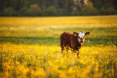 MårtenSvensson_117_3U4A9901 (Bad-Duck) Tags: jordbruk mat bete betesmark ko kor kväll köttdjur köttras sommar