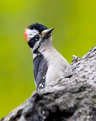 Downy Woodpecker (John W. Hamil) Tags: birds woodpecker downywoodpecker nature