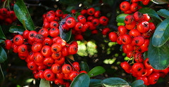 FRUITS VERMELLS (Joan Biarnés) Tags: corts pladelestany girona catalunya 294 panasonicfz1000 macro fruitsvermells frutosrojos