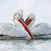 Pelican duet!