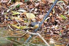 Grey Wagtail pond perch (Wild Spaces) Tags: greywagtail