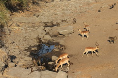 A Drying Waterhole (Rckr88) Tags: krugernationalpark southafrica kruger national park south africa a drying waterhole aa water animals animal baboon impala nature outdoors wildlife